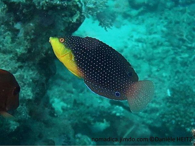 poisson, gorge jaune, corps brun à bleu, points bleus alignés, nageroire dorsale, anale, ocelle bleu foncé cerclé bleu clair