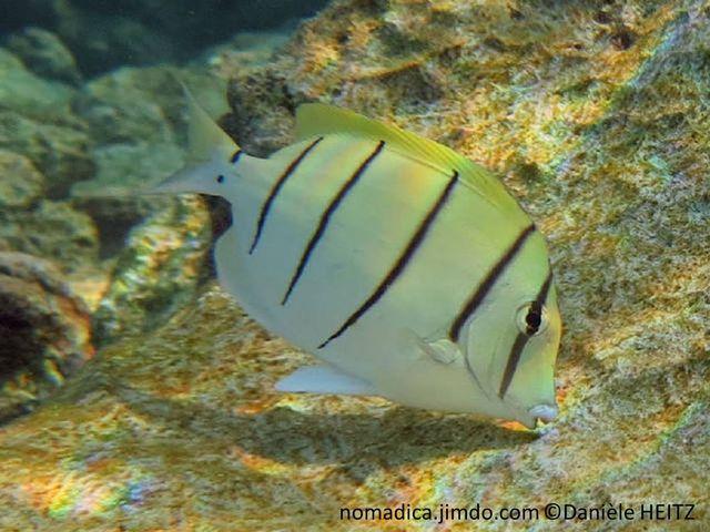 poisson, jaune pâle, bandes, verticales, noires