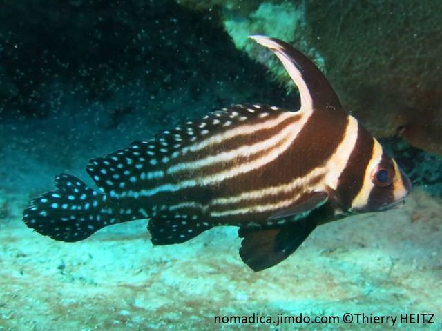 Poisson, blanchâtre rayé brun foncé, nageoires brunes à pois blanc, 1ère nageoire dorsale haute
