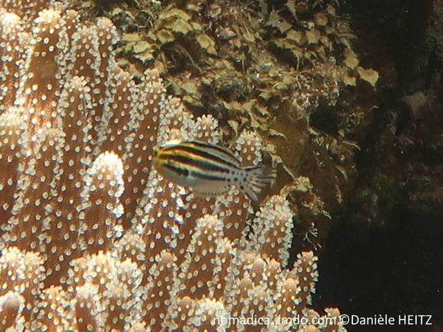 poisson, allongé, blanc , bandes noires, pédoncule caudal pointillés noirs, tête teintée jaune