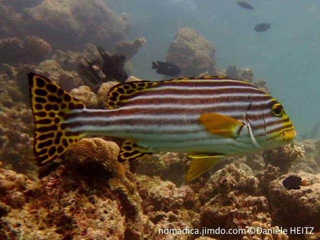 poisson, lignes horizontales, brun foncé, nageoires jaunes, taches noires