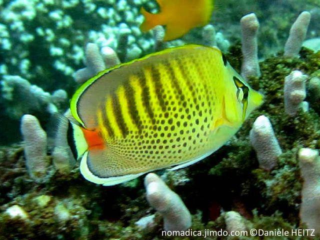 poisson, comprimé, ovale, jaune, taches noires sur les flancs, dos, lignes gris foncé, brunâtre, pédoncule caudal, orange, oeil, bande jaune orangé, bordé noir