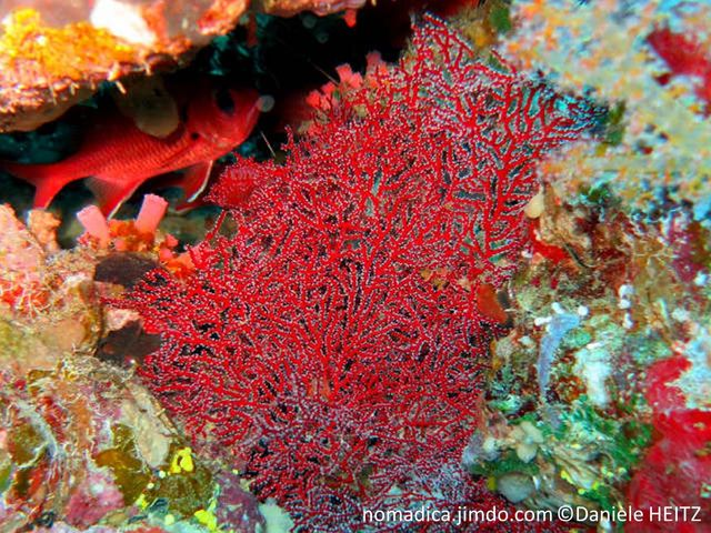 gorgone, éventail, rouge, orange