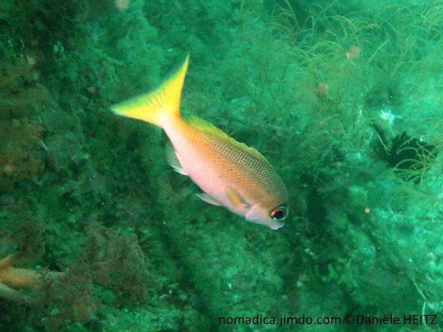 Poisson, dos grisâtre, ventre blanche, ligne médiane jaune ou brun foncé , queue jaune