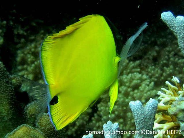 poisson, comprimé, jaune, tache noire, sous pédoncule caudale, tête bicolore noir, blanc, long museau