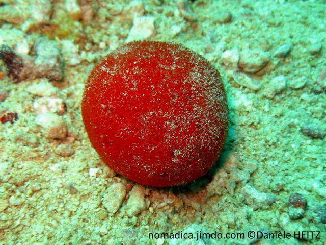 Eponge, boule rouge hérissée de proéminences courtes