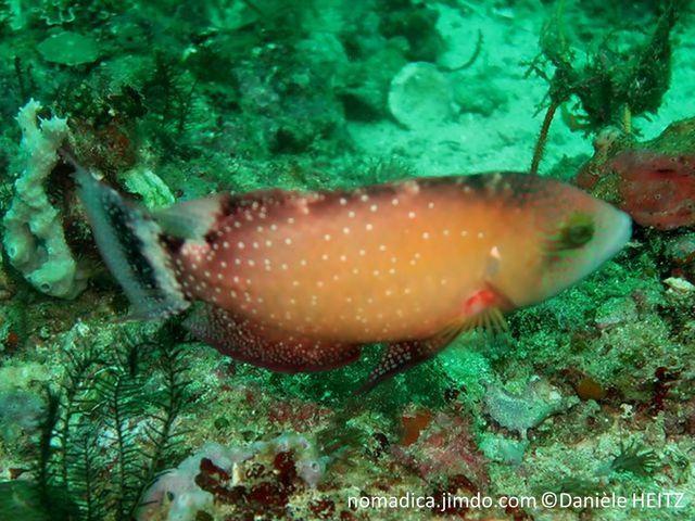 poisson corps brun-orangé, points blancs, tête bleu vert, lignes rougeâtres, queue trilobée,