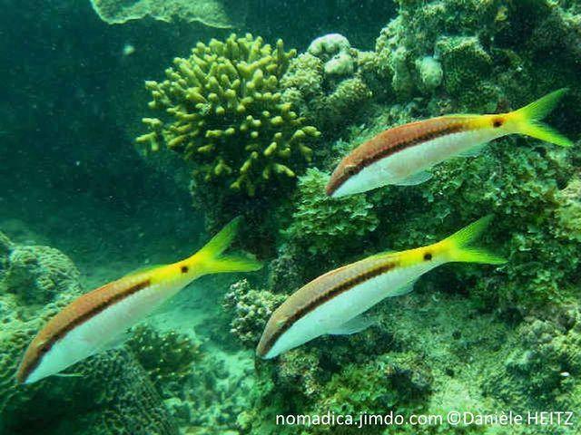poisson, barbillons, bande brune, queue jaune, tache noire