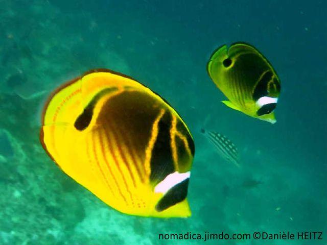 poisson, jaune, noir, lignes obliques, tache noire