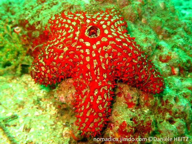 etoile de mer, excroissances, rouge orangé, maillage