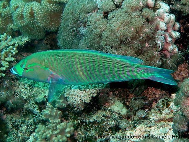 poisson, allongé, comprimé, bleu-vert, bandes verticales rose-mauve, milieu des flancs tache claire verticale