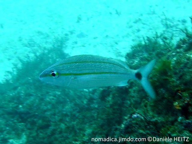 Poisson, corps argenté, lignes jaunes, fines, bande jaune partant de l'oeil  jusqu'à la tache noire sur le pédoncule caudal, bande jaune à mi-dos