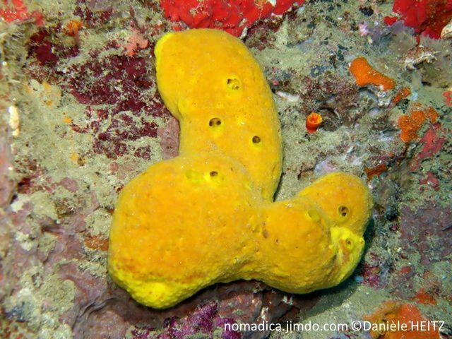 éponge, massive, lobée, globulaire, jaune, oscules irréguliers