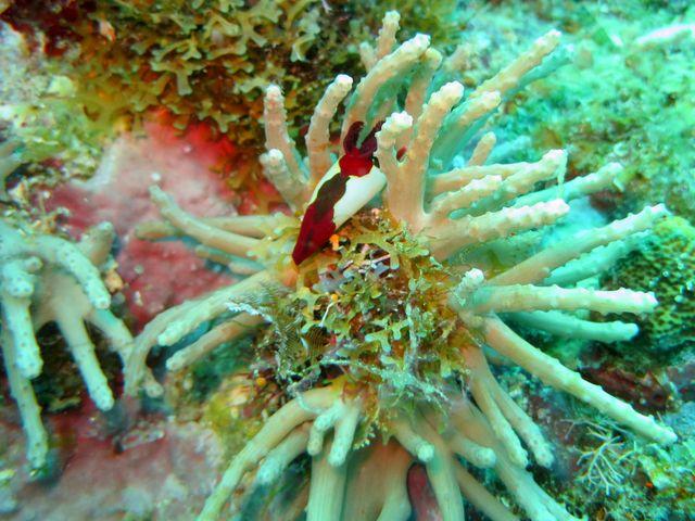 Corail mou, arborescent,  pied crème, branches, doigts longs, brun-grisâtre, polypes, pédonculés, 8 tentacules pennés, blancs