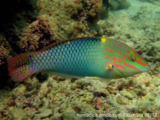 poisson, allongé, grosses écailles vertes , marge bleue,  dos, tache jaune, échiquier, bleu, vert, tête,verte, ligne rose,