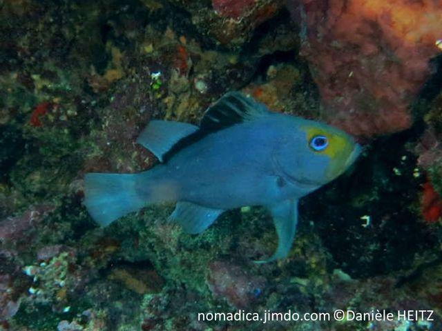 poisson, bleu, nageoires, pectorales, très longues