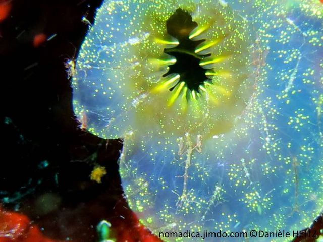 crevette, très petite, forme mante religieuse