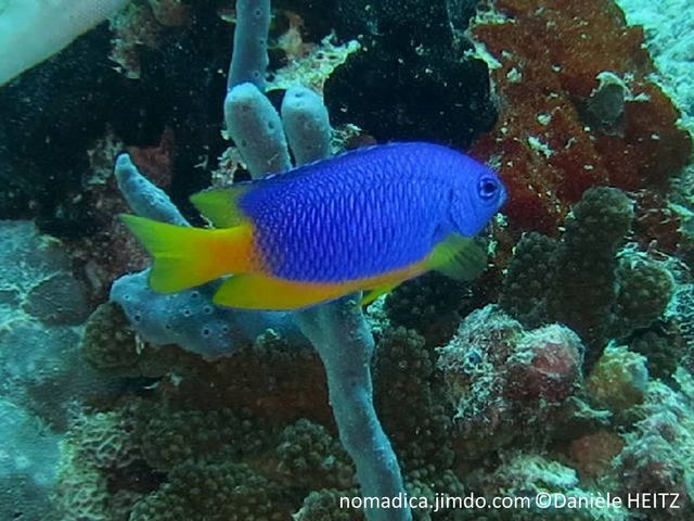 poisson, corps bleu, ventre, nageoires pectorales, anale, caudale et arrière dorsale, jaunes