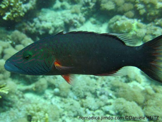 Poisson, bleu-verdâtre, tête, lignes horizontales mauves, joue, lignes obliques mauve, nageoires dorsale et anales, base noire