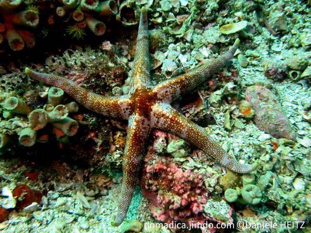 Etoile de mer, crème, taches rouge orangé à brunes, disque central haut, pyramidale, bras trinagulaires, surface granuleuse