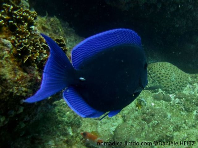 poisson, ovale, sombre, nageoires bleu vif