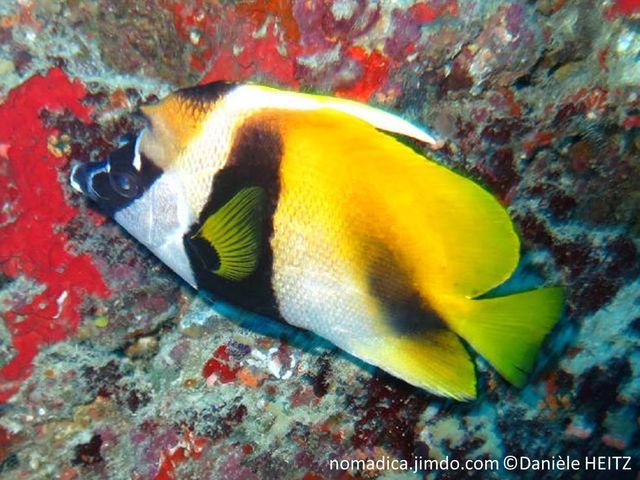 poisson, bande, noire, front, corne, dorsale, filament, long