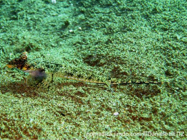 poisson, allongé, arrière fin, couleur imitation sable tête, large, museau busqué, bouche infère,