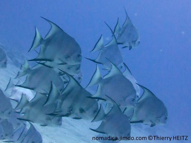Poisson, très comprimé, haut, argenté, bandes noires verticales, nageoires dorsale et anale, bordures noires, pointes très allongées
