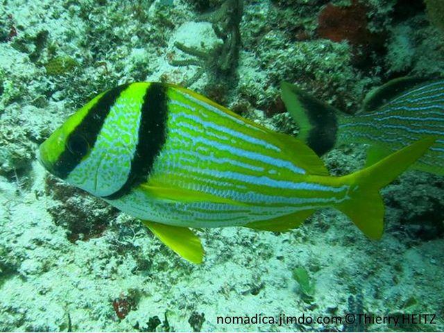 poisson, larges  bandes jaunes, horizontales, tête, 2 barres noires , larges
