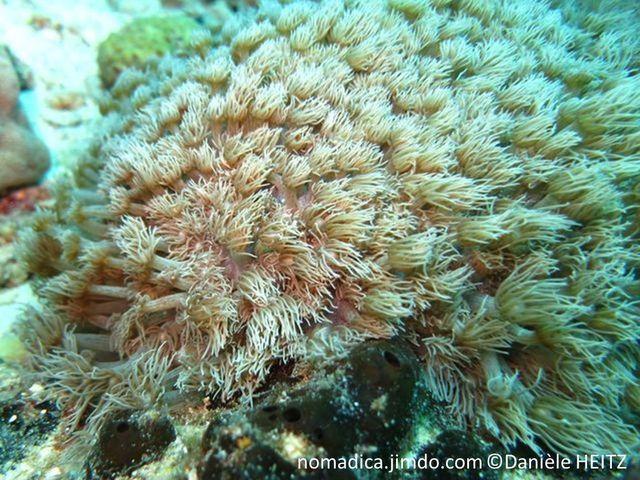 corail mou, forme bouquet de polypes, tentacules pennés, longs, fins