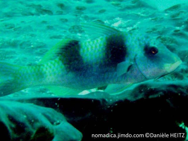 poisson, corps jaune, bleu, deux, bandes, noires