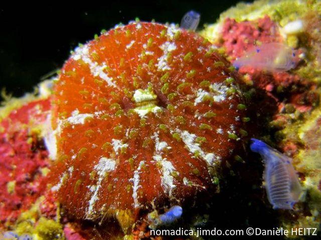 Corail champignon, libre, petit, tentacules visibles en journée