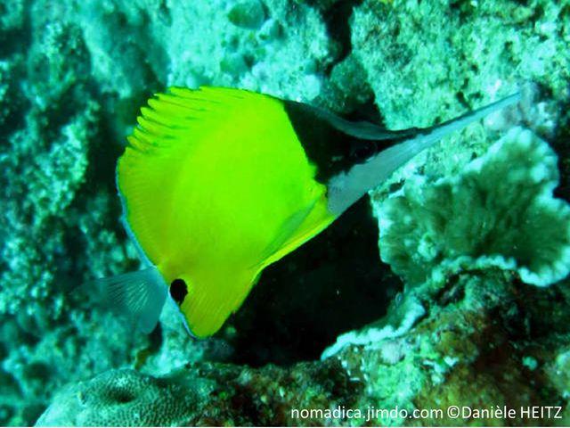 poisson, jaune, tête, noire, blanche