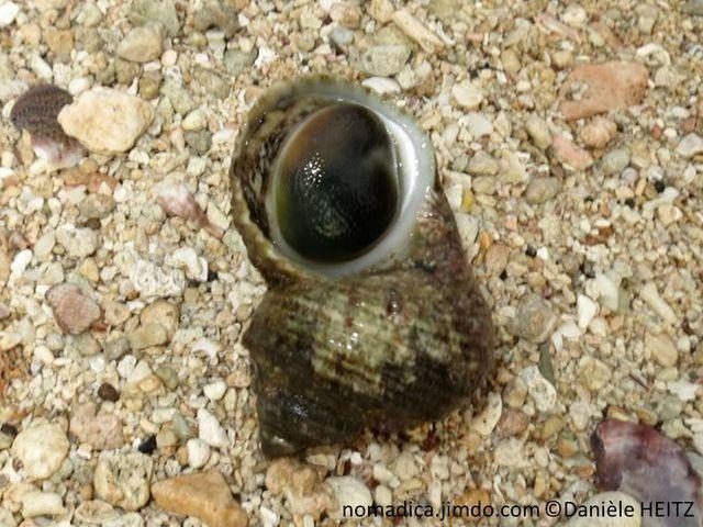 Escargot de mer, coquille, striée, première spire large, couleur verdâtre, brune