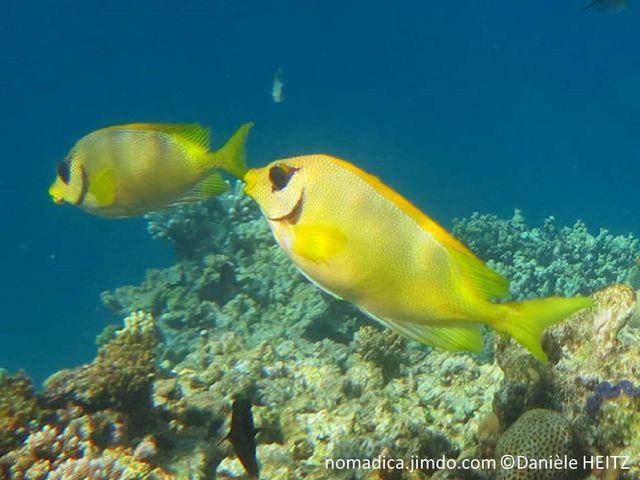 poisson, jaune, taches, bleues