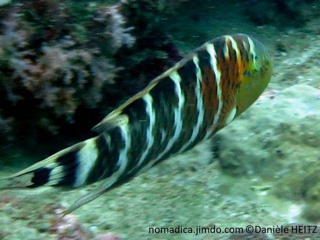 poisson, brun grisâtre rayé blanc, gorge rouge
