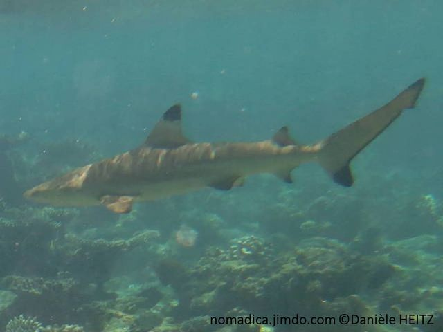 requin, nageoires , pointe noire