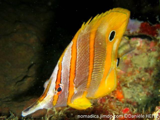 poisson, blanc, argenté, bandes, jaune orangé, ocelle noir