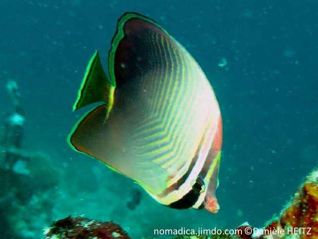 poisson, comprimé, corps gris pâle, chevrons, jaune-pâle queue noire, base, fine bande jaune