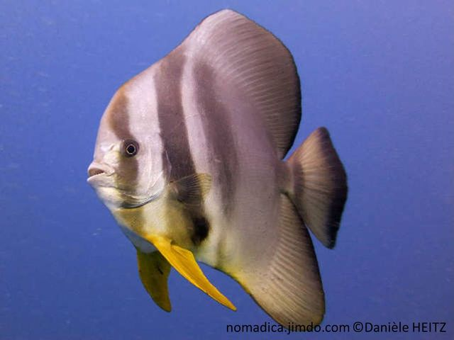 Poisson,très comprimé, 3 bandes, noires, tache noire , devant nageoire anale, tache noire, nageoires pectorales, jaunes