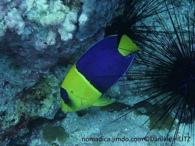 Poisson, ovale, corps bicolore, jaune bleu, bande verticale bleue du front à l'oeil. Queue jaune
