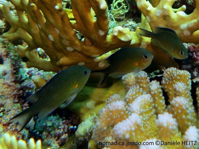 poisson, brun, nageoire pectorale, tache jaune, queue d'hirondelle