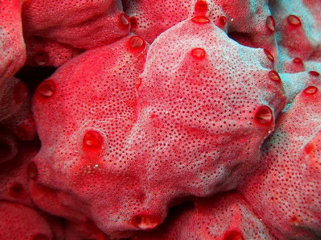 ascidie, tunique commune, mamelonnée, orangé, rouge rose, siphon, cerclé, rouge