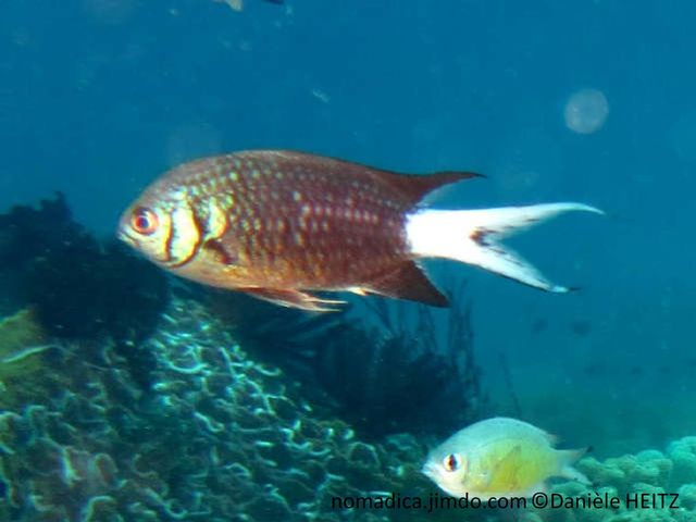 poisson, gris-brun-mauve, queue blanche, joue, barre, verticale, noire, opercule, bord noir