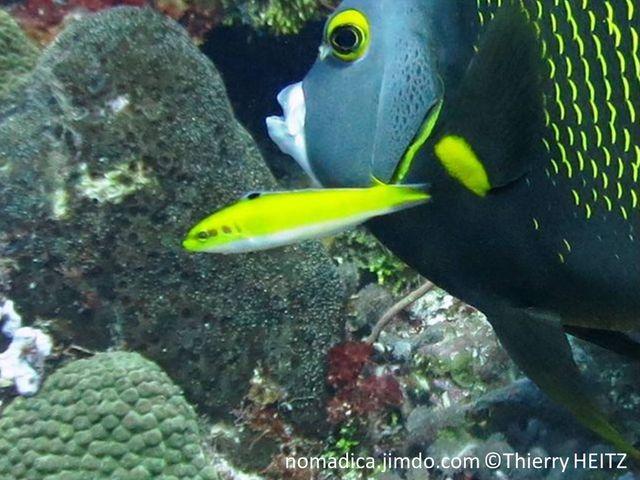Poisson, allongé, jaune, ventre blanc, avant nageoire dorsale, ocelle noire