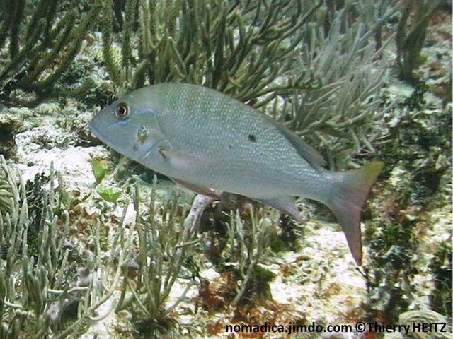 Poisson, comprimé, profond, argenté à olivâtre, bandes verticales pâles, ventre rosé, arrière dos tache noire, joue, ligne bleue sous l'oeil