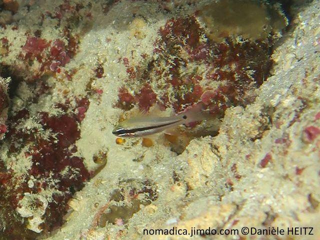 Poisson, crème-rosâtre, ligne horizontale noire, arrière s'affinant , tache noire excentrée vers le haut sur pédoncule caudale