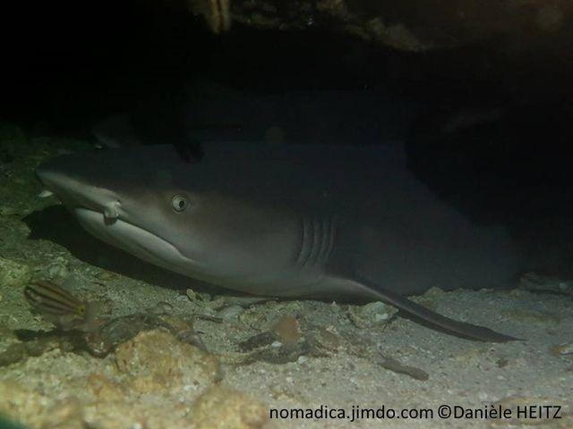 requin,  narines, barbillons, 1ère dorsale  et nageoire caudale, pointe blanche
