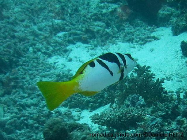 poisson,blanc, dos, taches noires, nageoires, jaunes