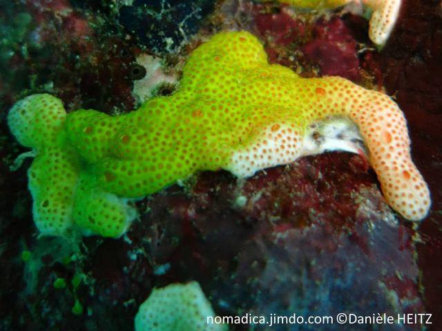 ascidie, tunique commune, surface trouée, étoilée, jaune à blanche, siphons dispersés